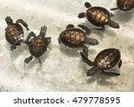 baby sea turtles in...   Shutterstock . vector #479778595