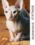 young sphinx kitten | Shutterstock . vector #47979658