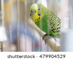 Budgerigar On The Cage. Budgie...