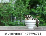 Sugar Glider In Coffee Cup ...