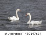 swimming mute swans in the...   Shutterstock . vector #480147634