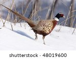 Small photo of Male Pheasant walking on the snow (Phasianus colchicus mongolicus).
