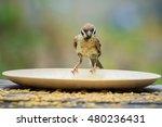 Close Up Urasian Tree Sparrow...