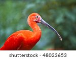 Red Glossy Ibis In Front Of A...