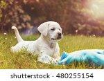 Stock photo labrador puppy in a meadow 480255154