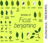 collection of vector leaves of... | Shutterstock .eps vector #480306901