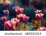 Beautiful Flower Of Tulip With...