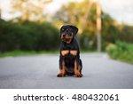 rottweiler puppy sitting... | Shutterstock . vector #480432061
