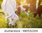 Portrait Of A Goat Eating Gras...