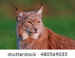 Detail Portrait Of Lynx  With...