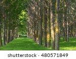 Poplar Trees And White Pollen...