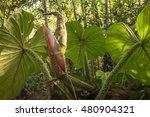 backlit leaves of a...   Shutterstock . vector #480904321