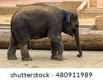 child elephant walks.... | Shutterstock . vector #480911989