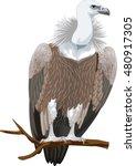 vector griffon vulture