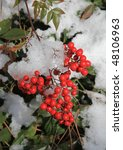 Red Winter Berries Surrounded...