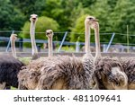 ostriches on a farm in niseko...   Shutterstock . vector #481109641