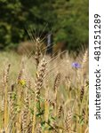 "Small photo of ""Common Wheat"" ears (or Bread Wheat) in St. Gallen, Switzerland. Its Latin name is Triticum Aestivum."