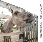 Cute Grey Donkey On The Farm...