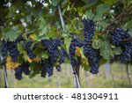 blue grapes for merlot wine in... | Shutterstock . vector #481304911