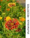 Small photo of Gaillardia cultivar Sun Flare - Asteraceae, asterales