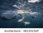 Pod Of Common Dolphins Has...