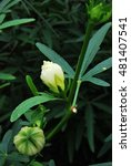 Small photo of Yellow Roselle flower