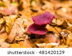 Small photo of Two amethyst deceiver (Laccaria amethystine) mushrooms on the beech forest floor.