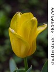 yellow tulip | Shutterstock . vector #481494799