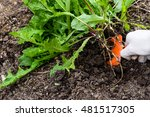 worker weeds dandelions in the... | Shutterstock . vector #481517305
