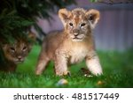 Little Lion Cub Playing On The...