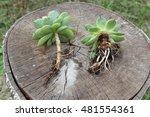 echeveria and sempervivum.... | Shutterstock . vector #481554361