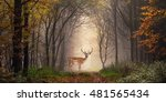Fallow Deer Standing In A...