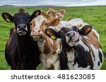Stock photo four funny cows looking at the camera 481623085