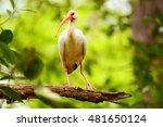 Immature white ibis  eudocimus...