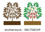 coffee tree with leaves and... | Shutterstock .eps vector #481708249