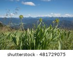 Small photo of alpine leek - faded allium victorialis in the bavarian alps