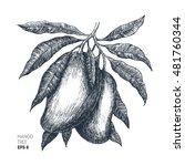 mango tree vintage illustration.... | Shutterstock .eps vector #481760344