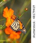 Monarch Butterfly On An Orange...