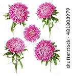 beautiful asters flowers set... | Shutterstock . vector #481803979
