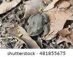 andean toad  rhinella spinulosa ...