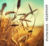 beautiful yellow wheat field in ... | Shutterstock . vector #481859449
