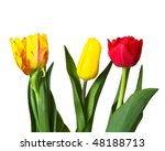 Red  Yellow Tulips  Isolated