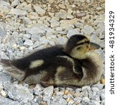 Baby Duckling Sat On Gravel At...
