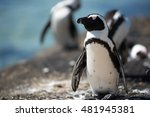 a african penguin relaxing in... | Shutterstock . vector #481945381
