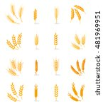 wheat  rye and barley isolated... | Shutterstock .eps vector #481969951