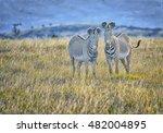 Pair Of Mountain Zebras Digita...