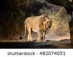 asiatic lion from gir forest... | Shutterstock . vector #482074051