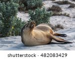 Australian Sea Lion  Seal Bay ...