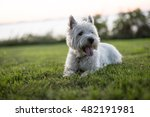 A West Highland White Terrier ...