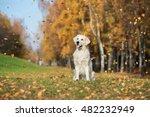 Happy Golden Retriever Dog...
